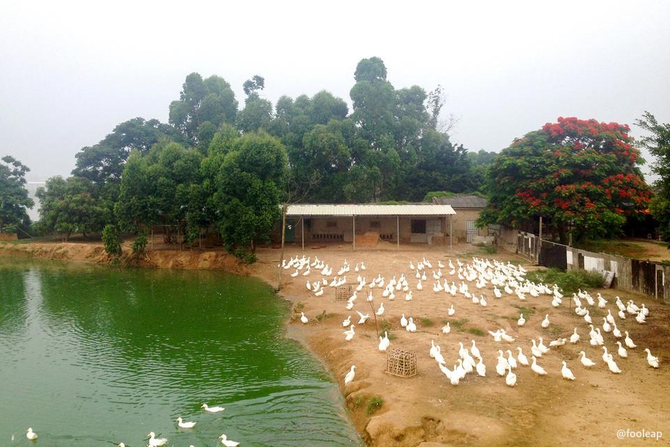 堤墘的池塘和鸭子